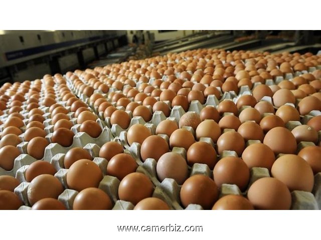 Fresh White and Brown Chicken Eggs For Sale - 2379