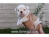 FREE!!! Lovely English bull dog puppies for adoption